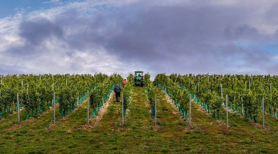 A Warmer Climate Helps English Wine To Blossom